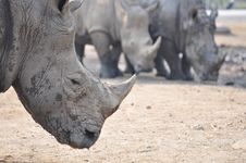 The Rhino Royalty Free Stock Photo