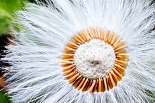 Free Dandelion Seed Stock Photos - 16957073