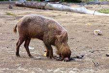 Free Wild Hog Animal On The Beach Royalty Free Stock Photography - 16958947