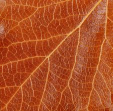 Free Texture, Leaf Poplar Is Very Close Stock Image - 16959221