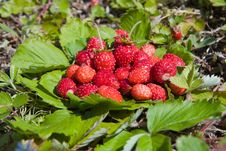 Free Wild Strawberry Royalty Free Stock Photo - 16959235