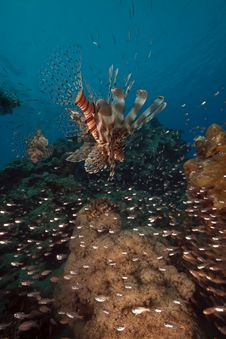 Lionfish Hunting On Glassfish Royalty Free Stock Photography