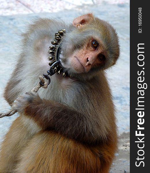 Staring Monkey