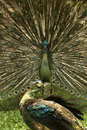 Free Peacock Royalty Free Stock Photography - 16962567