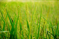 Free Green Paddy Closeup Stock Image - 16963641