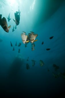Free Spadefish Over The Thistlegorm Wreck. Stock Photo - 16960330