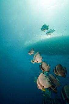 Free Spadefish Over The Thistlegorm Wreck. Stock Image - 16960541