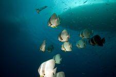 Free Spadefish Over The Thistlegorm Wreck. Stock Photos - 16960553