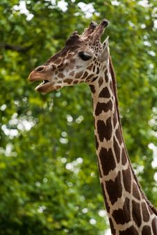 Free Reticulated Giraffe Portrait Stock Photography - 16960642