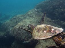 Free Gliding Sea Turtle Stock Image - 16960691
