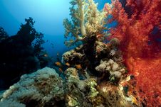 Free Coral And Fish In The Red Sea. Royalty Free Stock Photo - 16961325
