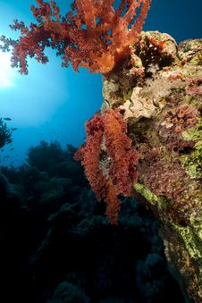 Free Coral And Fish In The Red Sea. Royalty Free Stock Photos - 16961328