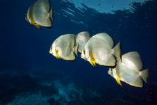 Free Spadefish In The Red Sea. Stock Images - 16961434