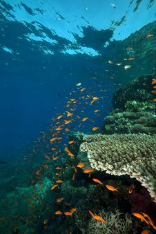 Coral And Fish In The Red Sea. Royalty Free Stock Images