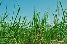 Free Green Grass Royalty Free Stock Photo - 16961765