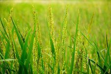 Green Paddy Closeup Stock Image