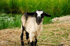 Free Goat Portrait Royalty Free Stock Photo - 16963665