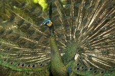 Free Peacock Stock Photo - 16963920