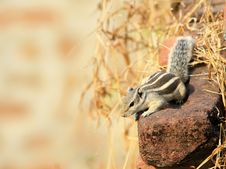Free Alert Squirrel Royalty Free Stock Image - 16966506