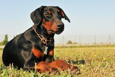 Free Doberman Royalty Free Stock Photos - 16967538