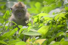 Wild Baby Macaque Monkey Royalty Free Stock Photography
