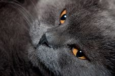 Blue British Shorthair Cat Stock Image