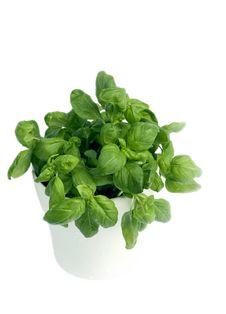 Free Basil In Pot Stock Photo - 16969340