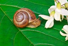 Free Garden Snail On A Leaf With Acacia Flowers Royalty Free Stock Photos - 16969358