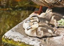 Wild Ducklings Have A Rest Stock Image