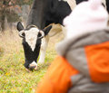 Free Baby Look At Feeding Cow Stock Photos - 16975193