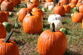Free Lots Of Pumpkins Stock Photography - 16977132