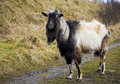 Free Goat Stock Images - 16977134