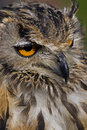 Free Bengal Eagle Owl Stock Photo - 16977590