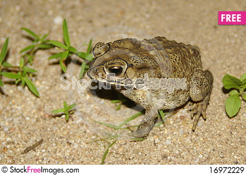 Free Big Toad On Sandy Beach Royalty Free Stock Images - 16972229