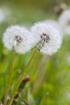 Free Fluffy Dandelion Stock Photography - 16970042