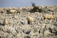 Free Sheep On Rock Stock Images - 16972144