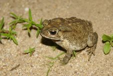 Big Toad On Sandy Beach