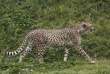 Free Cheetah Stock Photos - 16973593