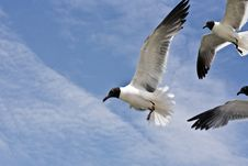 Free Seagull Is Flying Royalty Free Stock Images - 16973639