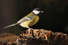 Free Great Tit On Sunflower Stock Photography - 16974612