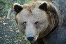 Free Brown Bear Face (Ursus Arctos) Royalty Free Stock Images - 16974679