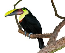 Free Isolated Toucan On A Tree Royalty Free Stock Photos - 16975608