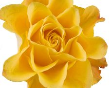 Free Clouse Up Of Yellow Rose Stock Images - 16976214