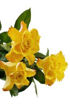 Three Yellow Roses Isolated Royalty Free Stock Photos