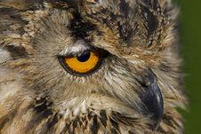 Free Bengal Eagle Owl Stock Image - 16977571