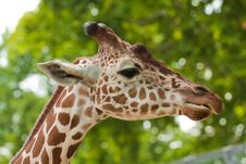 Free Reticulated Giraffe Portrait Stock Photo - 16977700