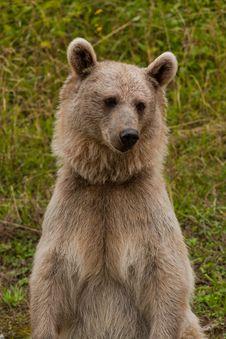 Free Brown Bear Portrait Stock Image - 16977701