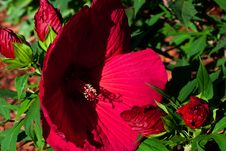 Free Hibiscus In Shadow Royalty Free Stock Photos - 16978288