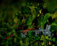 Free Purple Grapes Hanging On Vines Royalty Free Stock Photo - 16978495