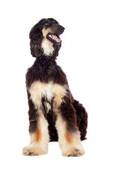 Arabian Hound Dog Royalty Free Stock Photo